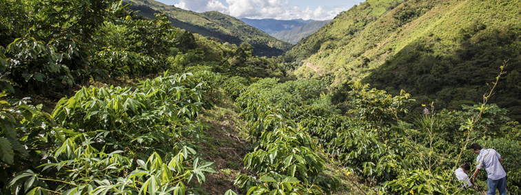 Coffee Farm in PEru